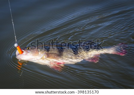 Big perch hooked on softbait - stock photo