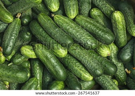 Big pile of fresh green cucumbers as a texture