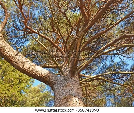 Big pine tree - stock photo