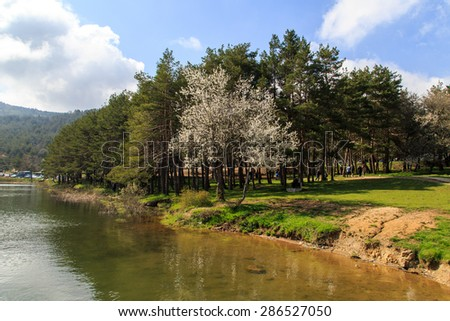 Big pine trees in meadow by the coastline of a lake or river, under cloudy sky. - stock photo