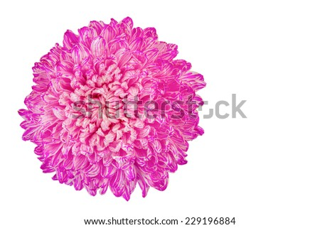 Big pink flowers Isolated on White Background.