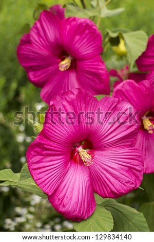 big pink hibiscus flower - stock photo