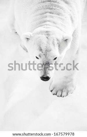 Big Polar Bear hunting in snow - stock photo