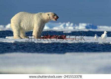 Big polar bear on drift ice with snow feeding kill seal, skeleton and blood, Svalbard, Norway - stock photo