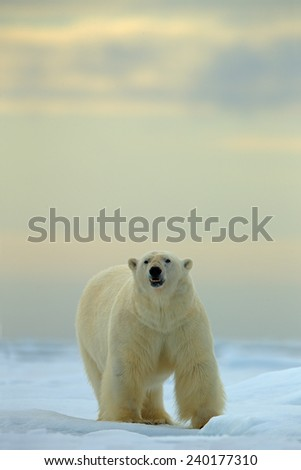 Big polar bear on drift ice with snow in Arctic Svalbard - stock photo