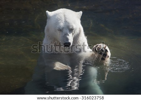 big polar bear swimming in the water. resting with closed his eyes .He raised his paw to the top