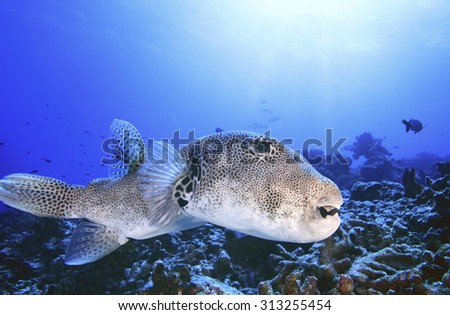 BIG PUFFER FISH SWIMMING ON CORAL REEF IN CLEAR BLUE WATER