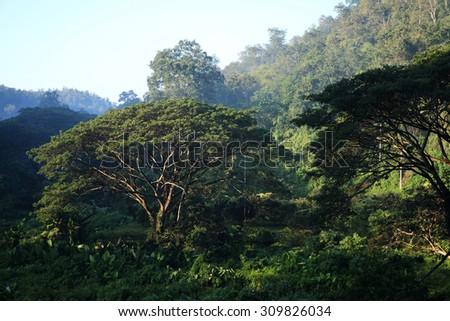 Big rain tree in rainforest, Chiang Mai, Thailand. - stock photo