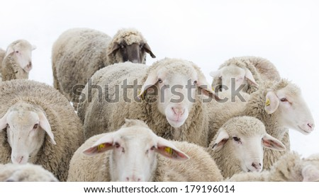 Big ram with sheep around it isolated on white background - stock photo