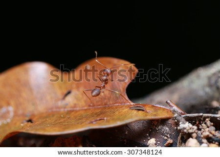 Big red ant - stock photo