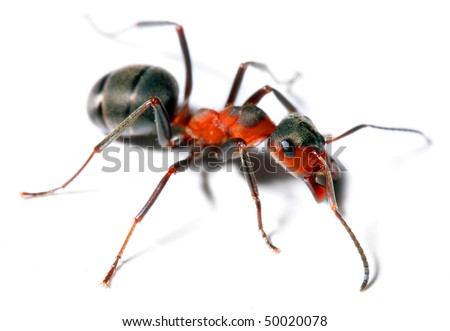 Big red ant isolated on white background. Macro with shallow dof. - stock photo