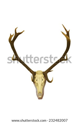 big red deer buck  hunting trophy isolated over white background, animal hunted in Romania