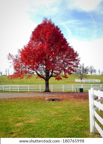 Big red maple tree. Country landscape on late autumn season.  picture taken with mobile phone - stock photo
