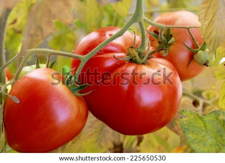 big red slicing tomatoes, home grown bio vegetable - stock photo