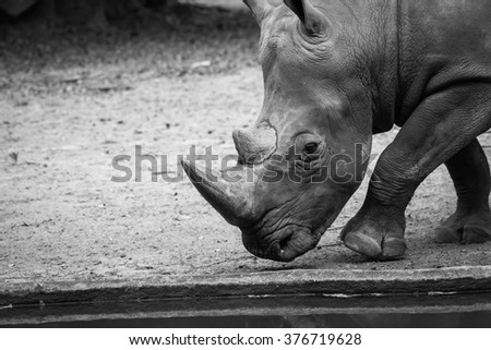 big rhinoceros at the zoo Thailand  black and white