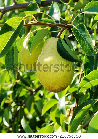 Big ripe fruit on the branch of pear tree - stock photo