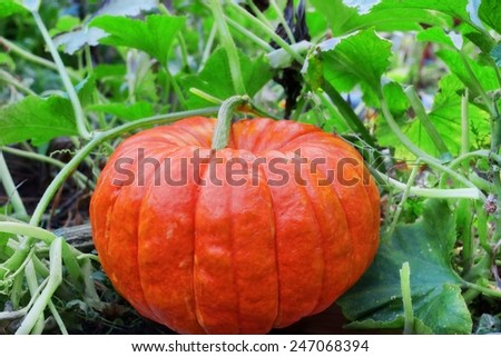 Big Ripe Pumpkin  in the Patch ready for harvest - stock photo