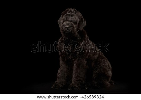 Big Russian Black terrier Dog Sitting on Isolated Background, Front view - stock photo