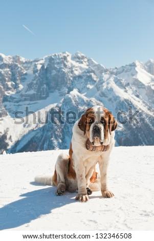 Big saint bernard dog in snow mountain landscape. - stock photo
