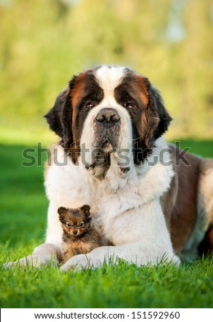 Big saint bernard dog with little toy terrier puppy - stock photo