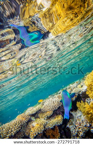 Big scarus fish in red sea swimming up to the surface near the coral reef wall. There is beautiful reflaction of fish and corals on the water surface - stock photo