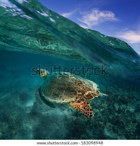 big sea turtle diving over coral reef in blue water under wave line with clouds above - stock photo
