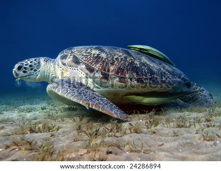 big sea turtle eating alga on the sand underwater