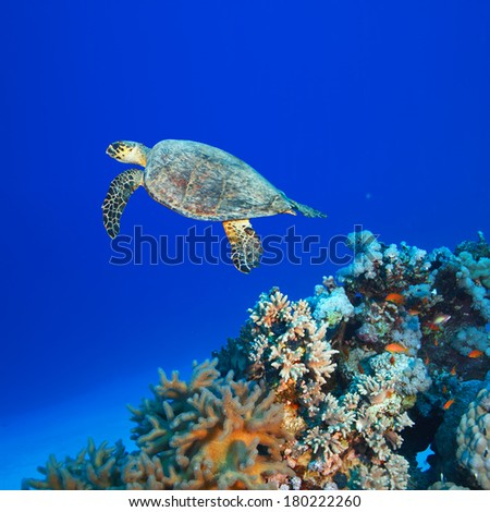 big sea turtle floating over coral reef in deep blue water with air bubbles - stock photo