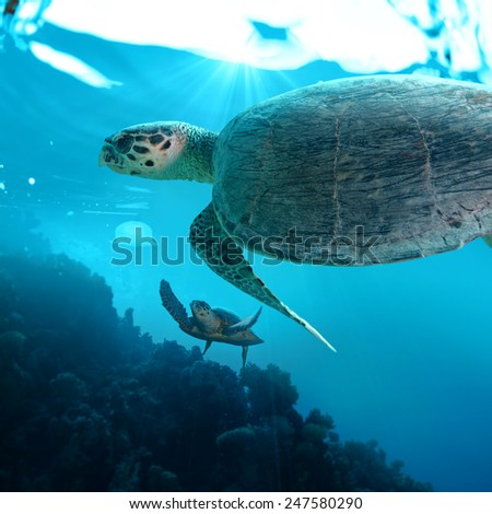 big sea turtles floating over coral reef in deep blue water - stock photo
