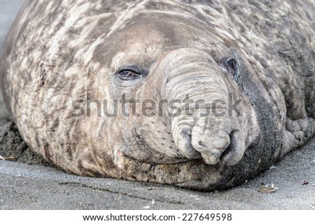 Big Seal on the coast in South Georgia - stock photo