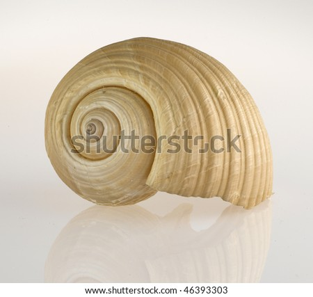 big seasnail - stock photo