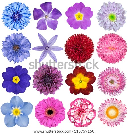 Big Selection of Colorful Flowers Isolated on White Background. Various Red, Pink, Purple, White Colors including rose, dahlia, cornflower, zinnia, strawflower, sunflower, daisy, primrose and other - stock photo