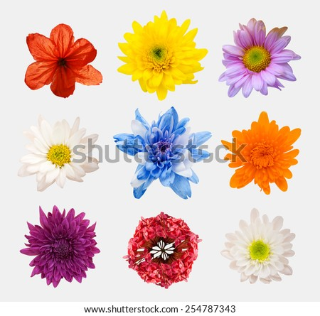 Big Selection of Various Flowers Isolated on White Background. Red, Pink, Yellow, blue Colors including rose, dahlia, marigold, zinnia, straw flower, daisy, primrose and other wildflowers