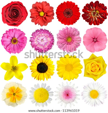 Big Selection of Various Flowers Isolated on White Background. Red, Pink, Yellow, White Colors including rose, dahlia, marigold, zinnia, straw flower, sunflower, daisy, primrose and other wildflowers