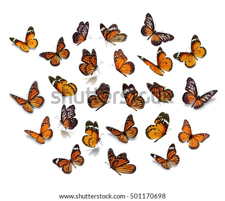 Big set Monarch Butterfly isolated on white background.