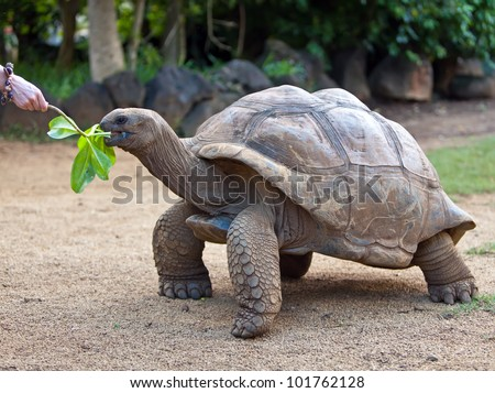 Big Seychelles turtle eat.  La Vanille Reserve park. Mauritius. - stock photo