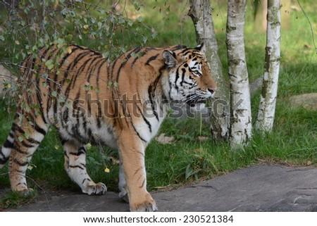 Big siberian Cat - stock photo