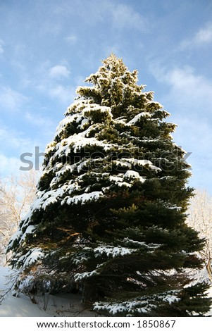 Big silver pine tree covered with fresh snow - stock photo