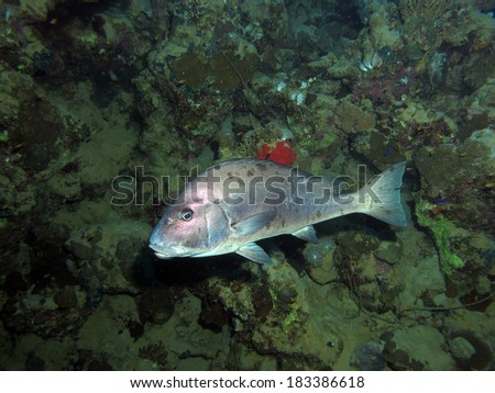 Big silver snapper - stock photo