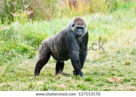 big silverback gorilla walking in the grass - stock photo