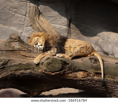 big sleeping lion closeup on outdoor stone rocks background