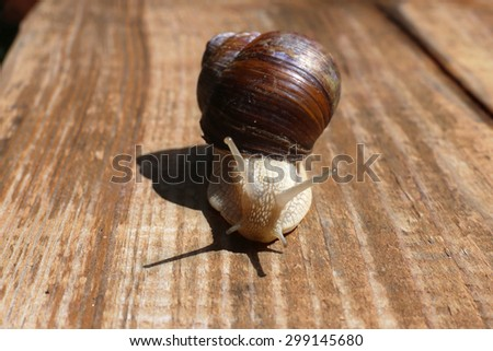 big snail close-up on the wooden desk - stock photo