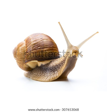big snail looks to you isolated on white - stock photo