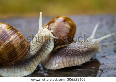 Big snails on wooden table after rain