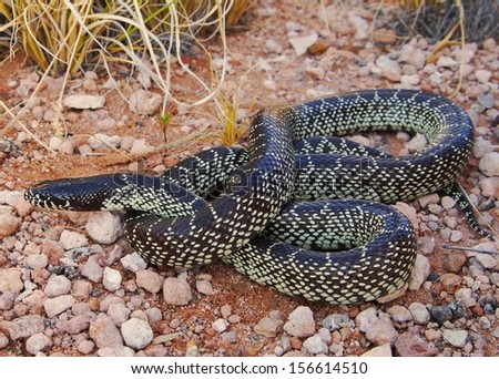 Big snake in the desert - Desert Kingsnake, Lampropeltis getula splendida, a constrictor snake that eats rattlesnakes - stock photo