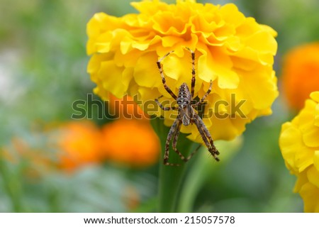 big spider on yellow flower - stock photo