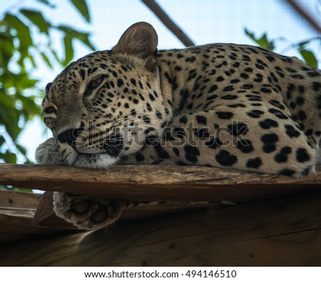 Big spotted cat - leopard lying on the tree in nature habitat