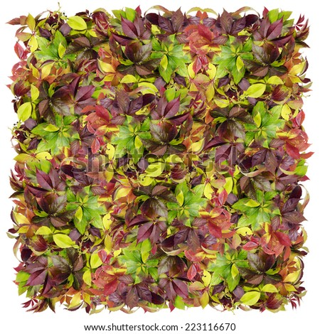 Big square from autumn leaves of wild grapes. Isolated collage - stock photo