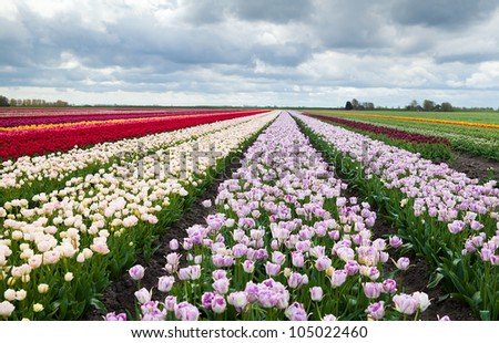 big stripes of Dutch colorful fields with many tulips