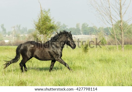 big strong black stallion running on a field on the green grass